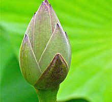 The Water Lily bud... by Ali Brown