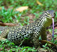 Yellow-Spotted Monitor by voir