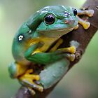 Magnificent Tree Frog by voir