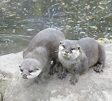Asian  Short Clawed Otters by Matt Eagles