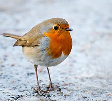 The European Robin (Erithacus rubecula) by Dfilyagin