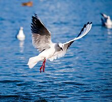 Gull in the air above the water (Larus ridibundus) by Dfilyagin