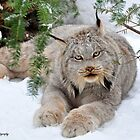 Canada Lynx by Nancy Barrett