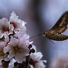 Almond Blossom Refreshment by Chris Morrison