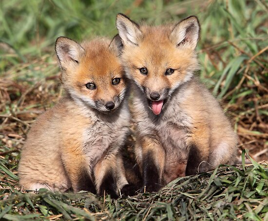 Laughing At The Photographer / Fox Kits by Gary Fairhead