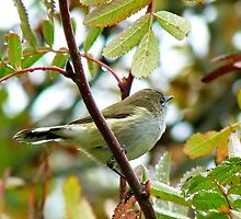 Where Were You When The Riroriro Sang? -  Riroriro - Grey Warbler - NZ by AndreaEL