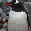 Gentoo penguin by robinmaher