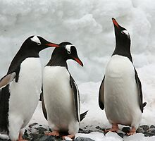 Gentoo penguins discussing the weather. by robinmaher