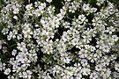 white flowers full frame by dedmanshootn