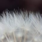 Dandelion Fluff by Chris Paul