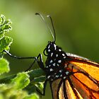MONARCH BUTTERFLIES @ MT ANNAN BOTANIC GARDENS by briangardphoto