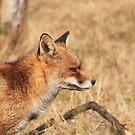Red Fox - 1087 by DutchLumix