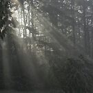 Sun Rays through the Trees on a Foggy Winter Day by OrPhotoJohn