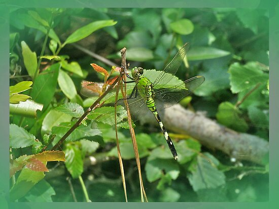 Eastern Pondhawk Female Dragonfly - Erythemis simplicicollis - on Pine Needles by MotherNature