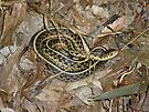 Young Eastern Garter Snake - Thamnophis sirtalis by MotherNature