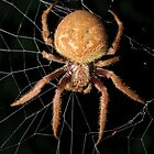 Garden Orb-Weaver by Andrew Trevor-Jones