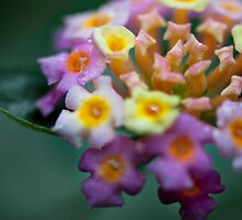 beautiful & toxic - Lantana flower by Krystle  Don
