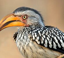 Eastern Yellow-billed Hornbill - Chobe NP Africa by Alwyn Simple