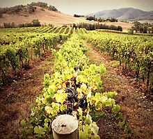 A Mudgee Vineyard by yolanda