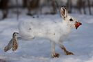 Snowshoe Hare peels away by Jim Cumming
