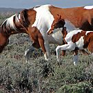 Wild Pinto Foal, Red Desert, Wyoming by A.M. Ruttle