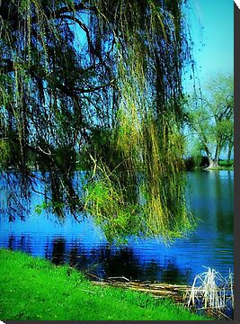Beautiful weeping willow tree ©  by Dawn M. Becker
