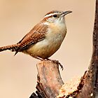 carolina wren 1_2011 by leftysphotos
