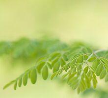 macro shot of moringa leaves(moringa oleifera) by rajeshbac