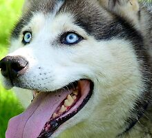 Micky Blue Eyes -Siberian Husky Dog - NZ by AndreaEL