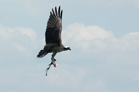 Osprey Building Her Nest by Margaret  Shark