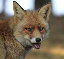 Red Fox - 836 by DutchLumix