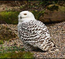 Snowy Owl by taffspoon