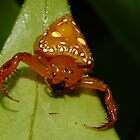 Triangular Spider - Arkys lancearius  by Gabrielle  Lees