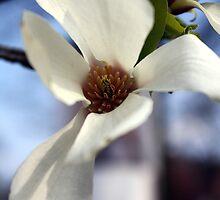 Magnolia III by Tanja Katharina Klesse