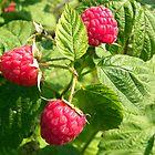 Bountiful Berries by Tjfarthing