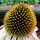 Cone Flower~ by Virginian Photography (Judy)