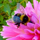 Bumble Bee on Dahlia - Delectable  by ArundelArt