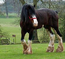 Shire Horse by AnnDixon