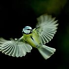 In flight Blue Tit by Russell Couch