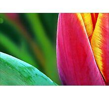 A Paintbrush of Tulip Petals Photographic Print