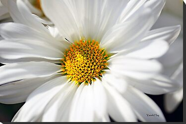 White Petals by Yannik Hay