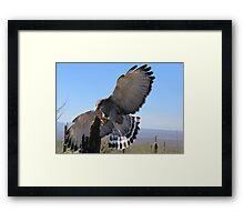 Gray Hawk ~ Brake Check! Framed Print