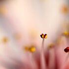 Spring Blossom by Sharon Johnstone