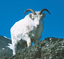 Dall Sheep at Sheep Mountain by Yukondick