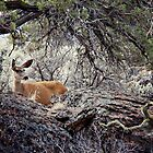 Cautious Deer - Prineville, OR by kristideephotog