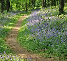 Bluebells in Coed Cefn by Jane Corey