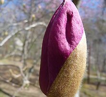 Flowering tulip tree bud by sweetrose