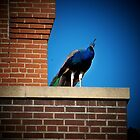 Peacock on the Ledge by Nora Caswell