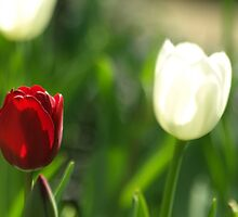 TULIPS @ ROYAL BOTANIC GARDENS by briangardphoto