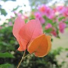 bougainvillea by emmamalapo